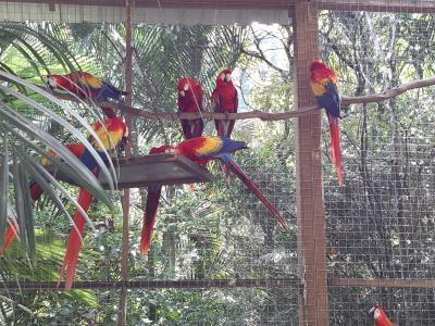 Met veel geduld worden de macaw's uiteindelijk weer teruggezet in de natuur. In dit geval nabij de ruïnes van Copán.