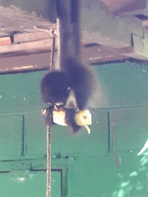 Cute. Klein aapje... grote banaan... In het apen-opvangbos in Bahia de Jiquilisco.