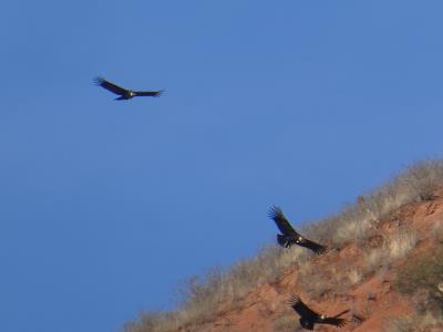Op de terugweg naar Salta, verrast door een 15-tal condors.