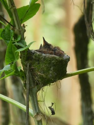 Mini kolibrinestje, met mini kolibrietjes.