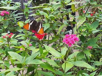 In de vlindertuin van de botanische tuinen vlakbij de finca.