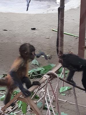 Apenweesjes, ook in het Jaguar Rescue Center (doen feitelijk geen jaguars meer, maar wel heel goed werk)