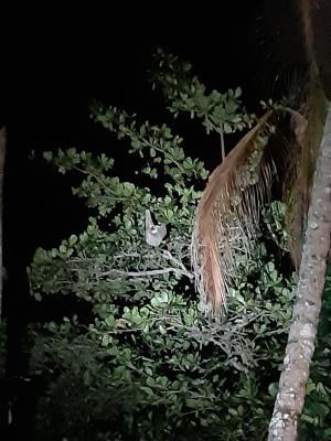 Luiaard in de bomen tijdens een avondwandelingetje terug naar de bungalow.