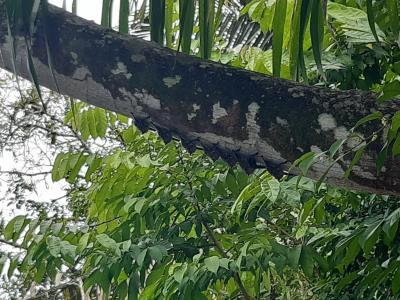 Vleermuizen onder een boomstam, zeer goed gespot door de kapitein.